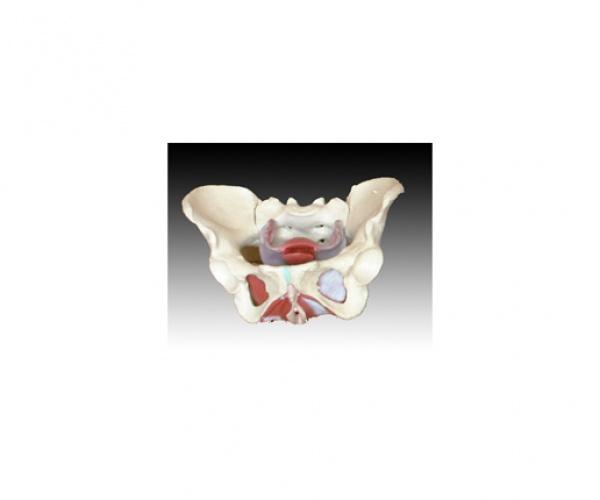 【女性骨盆及盆底肌肉模型】-报价|价格|规格|资料-上海知能医学模型制