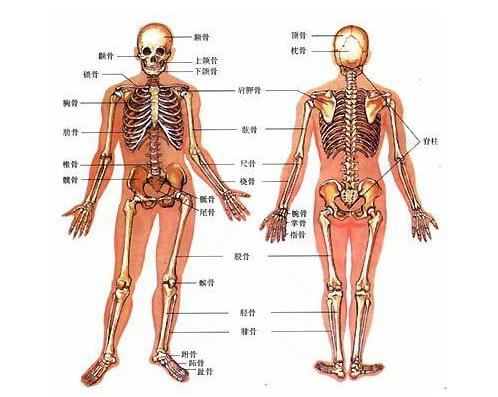 医学教学模型人体骨骼结构详细介绍