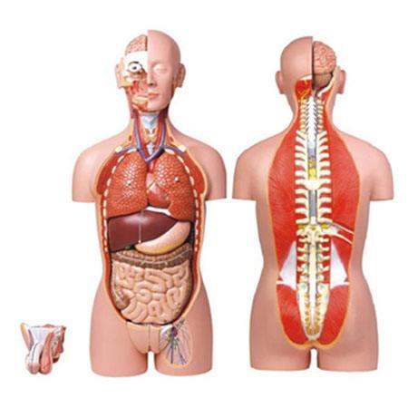 男、女人体背部开放式半身躯干模型